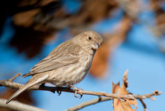 Female House Finch perched in an Oak tree Royalty Free Stock Photography