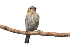 Female house finch perched on a pine branch. White background royalty free stock photos
