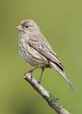Female House Finch Royalty Free Stock Photography