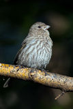 Female  House Finch Royalty Free Stock Photos