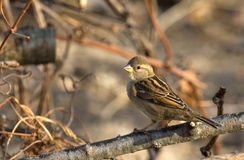 Female House Sparrow Royalty Free Stock Photo
