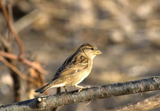 Female House Sparrow. Photograph of a female House Sparrow, Passer domesticus, perched on a branch in a midwestern backyard stock photos