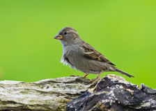Female house Sparrow Stock Photo