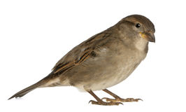 Female House Sparrow royalty free stock photography
