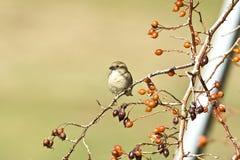 Free Female House Sparrow Royalty Free Stock Photo - 8457315
