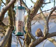 Female House Sparrow  bird eating from bird feeder Stock Photography