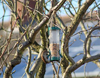 Female House Sparrow  bird eating from bird feeder Stock Images
