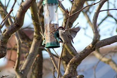 Female House Sparrow  bird eating from bird feeder. Female house sparrow eating at a bird feeder Royalty Free Stock Photography