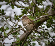 Female House Sparrow Stock Image