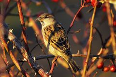 Female house sparrow on bush Stock Image