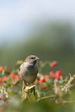 Female house sparrow in a bush Stock Photos