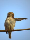 Female House Sparrow busy in body cleaning Royalty Free Stock Photography