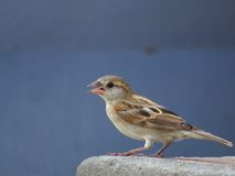 Female House Sparrow calling Royalty Free Stock Photo