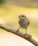 Female House Sparrow Royalty Free Stock Photos