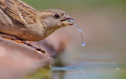Female House Sparrow drinking water royalty free stock photo