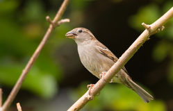 Female house sparrow eating a seed Stock Photography