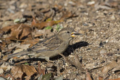 Female House Sparrow Royalty Free Stock Photos