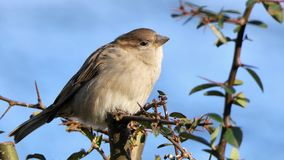 Female house sparrow. Sitting in a thorn bush, blue sky background, closeup royalty free stock image