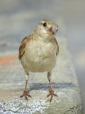 Female House Sparrow - Front view close portrait Stock Photography