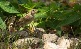 Female House Sparrow on the ground Stock Photo