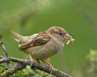 Female House Sparrow with moth Stock Photos