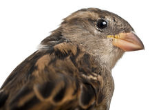 Female House Sparrow, Passer domesticus Stock Photos