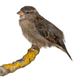 Female House Sparrow, Passer domesticus Stock Photography