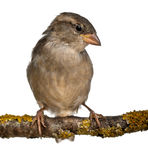 Female House Sparrow, Passer domesticus Royalty Free Stock Images