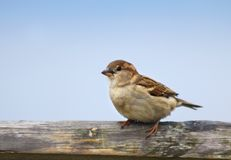 Female House Sparrow (Passer domesticus) Stock Photos