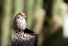 Female House Sparrow (Passer Domesticus) Stock Photography