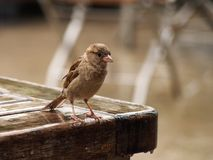 Female of House Sparrow Stock Image