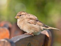 Female House Sparrow Stock Image