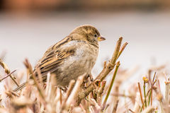 Female house sparrow or Passer domesticus Stock Images