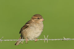 A female House Sparrow Passer domesticus perched on a barbed wire fence. Stock Photography