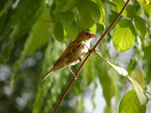 Female Indian House Sparrow (Passer domesticus) sitting on a Branch. This is a photograph of a female house sparrow (Passer domesticus&# Royalty Free Stock Image