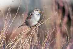 House Sparrow sitting on a straw Royalty Free Stock Images
