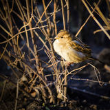 Female House Sparrow Stock Images