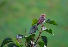 Female house sparrow perched on a branch royalty free stock photos