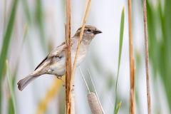Female House Sparrow. A female house sparrow perched on cat tail Royalty Free Stock Image