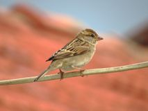Female House Sparrow perched on electric wire Royalty Free Stock Images