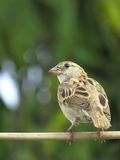 Female House Sparrow perched on electric wire back view portrait Royalty Free Stock Photos