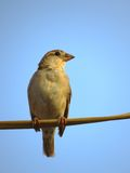 Female House Sparrow perched on electric wire close portrait Stock Images