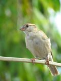 Female House Sparrow perched on electric wire close portrait Stock Photography