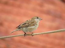 Female House Sparrow perched on electric wire Stock Images