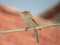 Female House Sparrow perched on electric wire Royalty Free Stock Image