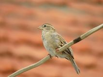 Female House Sparrow perched on electric wire Stock Photos