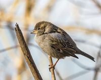 Female house sparrow perched on limb. A female house sparrow, perched with feathers ruffled to protect from the cold weather royalty free stock photos