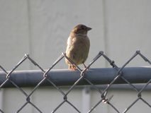 Female House Sparrow Royalty Free Stock Photo