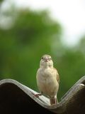 Female House Sparrow perched on Roof- Front view close portrait Stock Photos