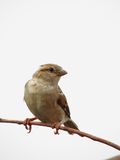 Female House Sparrow perched on thin twig Stock Images